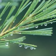 How to Extract Essential Pine Tree Oil | eHow