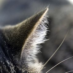 Which pet animals hear ultrasounds exceptionally well? Cats! Cats are nocturnal predators and therefore have excellent hearing, among the best of any mammal. They can detect an extremely broad range of frequencies, ranging from 55 Hz to 79 kHz. This is far more than  humans (31 Hz - 18 kHz), and dogs (67 Hz - 44 kHz). Cats ability to hear ultrasound is probably important in hunting, since many species of rodents make ultrasonic calls.