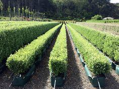A client asked us for shorter Corokia 'Geenty's Green' hedges. So we cut a few rows in half. Valley Nursery, Nurseries, Garden Styles, Hedges, The Row, Garden Design, Vineyard, Coastal, Landscape