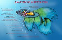 anatomy_of_a_betta_fish_by_belle3245-d3139nn.jpg (900×588)