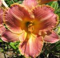 Daylily Bumble Bee Boogie | Daylily Plants for Sale (Daylilies for Sale) | T's Flowers & Things