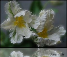 White Parrot Tulips are so fragile looking, yet strong in their abilities to appeal to the human eye.