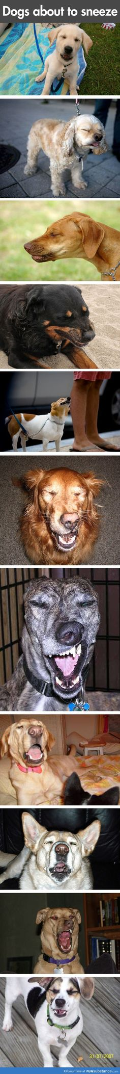 Dogs about to sneeze