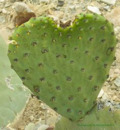 Green Heart Cactus this type has tiny spines that easily embed themselves into an unwary hand, and have to be removed carefully with tweezers!