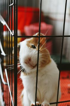 Guinea pigs are one of the best small pets any person can have...yes they're rodents, but they're smart and you can train them and they have the greatest little personalities.