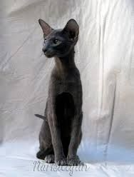 Seriously can't wait to get my own oriental shorthair! Pretty Cats, Beautiful Cats, Animals Beautiful, Cute Animals, Chat Oriental, Kittens Cutest, Cats And Kittens, Oriental Cat Breeds, Oriental Shorthair Cats
