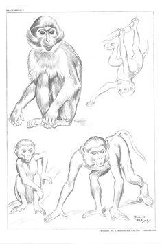 Pencil Drawings Of Animals, Animal Sketches, Cool Art Drawings, Easy Drawings, Drawing Sketches, Basic Drawing, Figure Drawing, Illustration Singe, Art Black Love