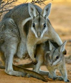 Endangered Species: Bridled Nail-tailed Wallaby of Australia was thought to be extinct until 1973 when a small population was found.  Conservation efforts were put into place, but the species is still endangered.  There are only about 500 in the world.