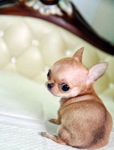 Chihuahua puppy face