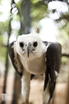 We have two beautiful white-chested sea eagles at the WFFT Rescue Center