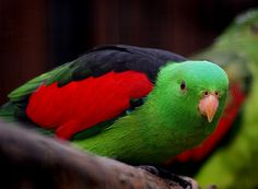 The Red Winged Parrot is popualr for its attractive appearance and charming personality. Find out more about this prized Australian parrot breed! Exotic Birds, Colorful Birds, Beautiful Horses, Beautiful Birds, Bird's Custard, Custard Powder, Australian Parrots, Bird Breeds, Wild Birds Unlimited