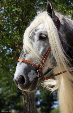 Trait Mulassier Poitevin 01 by MAXFOUF Beautiful Horse Pictures, Most Beautiful Animals, Beautiful Horses, Beautiful Creatures, Percheron Horses, Clydesdale, Horses And Dogs, Grey Horses, All About Horses