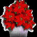 Gifs Animados de Poinsettia: Flor de Navidad