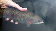 A Highland Lake rainbow trout.