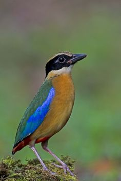 All sizes   Blue-winged Pitta @ BC_20131018_161   Flickr - Photo Sharing!