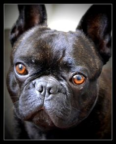French bulldog / frenchie / cute / animals / dogs