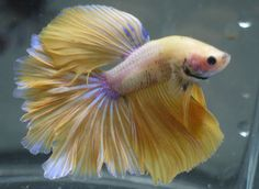 Yellow-rosetail-halfmoon-betta-I36