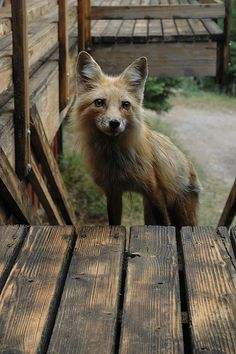 Red fox checks out the deck, by Rob Lee via flickr.