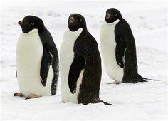 musical penguins | penguins penguins penguins dancing penguins penguins clothes emperor ...