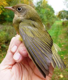 The elusive Connecticut Warbler, captured today for the first time in 10 years of banding on Skiff Mountain by dedicated ornithologists Laurie Doss, Cleo Conk '15, Josh Fusaro '17 and Simon Winter '17