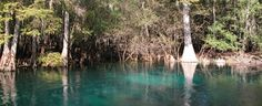 Manatee Spring surrounded by towering cypress trees draped in moss at Manatee Springs State Park.