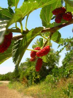 Wild berries in your groves