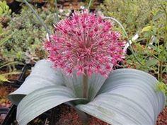 Another beauty from Far Reaches Farm-allium karataviense subsp henrikii