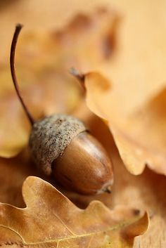 acorn amid oak leaves