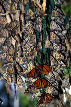 Monarch butterflies migrating at Natural Bridges State Park http://www.parks.ca.gov/Events/EventDetail.aspx?id=2153