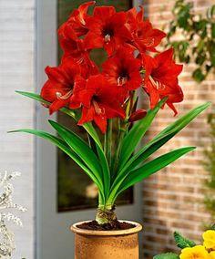 Amaryllis 'Gracilis'   Flower Bulbs from Spalding Bulb