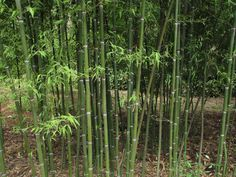 This is perhaps the hardiest of the Phyllostachys genus. It has dark green culms with a bright white ring at the node. The leaves are also darker than most other bamboos. In the spring the new culms are often near-black in color for a few weeks as the new foliage appears, aging to green