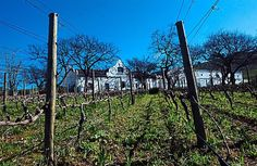 The DeMorgenzon wine estate vineyards in Stellembosch, some north of Cape Town. The estate has a strong focus on chenin blanc and chardonnay, but also produces classic reds syrah and pinot noir. Chenin Blanc, Pinot Noir, Classical Music, Cape Town, Wines, Vineyard, Strong, Image, Vine Yard