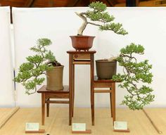 Chico Bonsai Society's spring show Saturday at CARD's Community Center in Chico