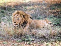 IOL cecil the lion