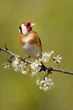 Goldfinch on branch with white blossom Small Birds, Colorful Birds, Little Birds, Love Birds, Beautiful Birds, Disney Pop Art, Bird Identification, World Birds, Brown Bird