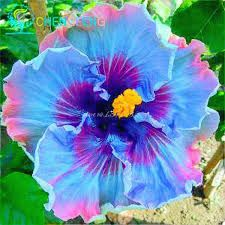 Wow! Incredible true-blue hibiscus