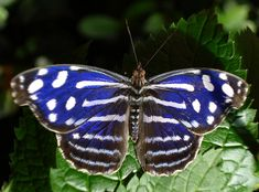 Myscelia cyaniris royal blue butterfly  (Photo: lonnierocks, Flickr)