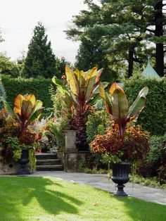 In this combination, Dan Benarcik used the Red Abyssinian banana with coleus Sedona. The trailing plant is creeping jenny, Lysimachia nummularia. Repeating this extravagant but simple combo in three urns gives it extra punch. Container Herb Garden, Container Gardening Vegetables, Container Flowers, Container Plants, Succulent Containers, Vegetable Gardening, Red Banana Plant, Banana Plants, Outdoor Planters