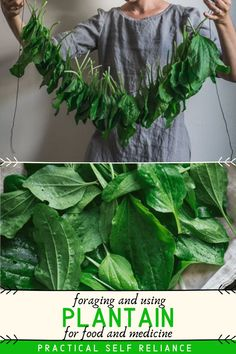 """Money savers 489344315763992125 - Learn how to identify and forage for plantain, a valuable first-aid """"weed"""" that's easy to find- perfect for beginning foragers and medicine makers! Source by PSReliance Herbal Tinctures, Herbalism, Plantain Herb, Weed Recipes, Edible Wild Plants, Wild Edibles, Medicinal Herbs, Herbal Medicine, Along The Way"""