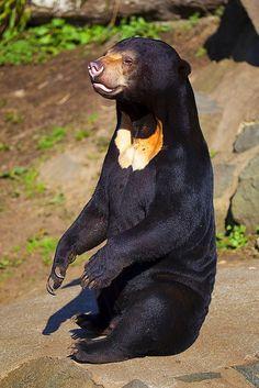 Sun Bear by sparky2000, via Flickr