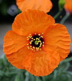 "Stylomecon heterophylla ""Wind Poppy"" - Seldom seen in cultivation, this rare CA native makes a statement in the garden with its gorgeous glowing orange flowers. Good drainage please!"