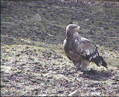 MYSLIVOST: Bird Strike 3 Bird Strike, Bald Eagle, Top, Animals, Animales, Animaux, Animal, Animais, Crop Shirt