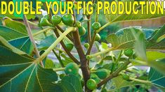 Fertilizing Figs For Maximum Production - Double Your Fig Harvest - YouTube Fig Fruit Tree, Fig Leaf Tree, Garden Soil, Edible Garden, Garden Path, Vegetable Gardening, Garden Ideas, Tomato Plant Food, Growing Fig Trees