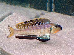 """Enantiopus melanogenys """"Utinta orange tail"""""""