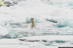 """""""Arctic Hi five."""" Two Polar bear cubs full of adrenaline on iceflow in Svalbard. The mother was just trying to have a quiet stroll but the cubs were not having any of that. This was the male cub. (Svalbard)"""