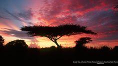 Acacia Tree at Sunset, Phinda Resource Reserve, Kwa-Zulu Natal Province, South Africa  tjn