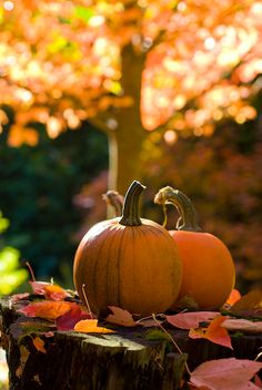 I can't wait for fall - pumpkin everything, hoodie weather / cooler temperatures, the changing colours of the leaves, Halloween. Autumn Day, Autumn Leaves, Late Autumn, Autumn Song, Pumpkin Leaves, Pumpkin Farm, Autumn Morning, Golden Leaves, Tree Leaves