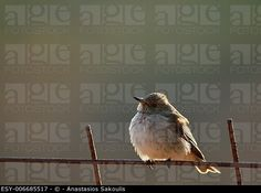 Spotted flycatcher (Muscicapa striata), Crete, Greece (agefotostock LBRF)