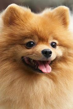 Pomeranian :-) , this looks just like my baby bear. So stinking cute. Love him.