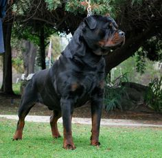 German Rottweiler - I've had 2. Such  magnificent, loving, obedient, regal of poise, couch potato, lap loving doggies!!!  Until we got outside...  LOL